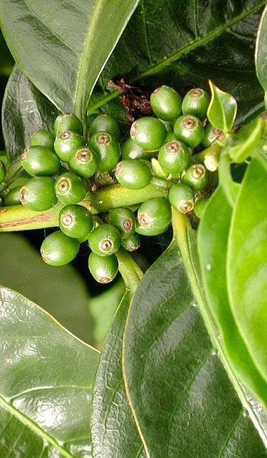 Os benefícios do café verde
